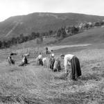 Indhøstning af Korn i Norge, unnmøre 1988/94. Foto: Knud Knudsen